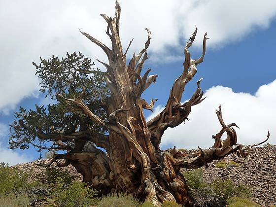 Bristlecone Pine along the Discovery Trail